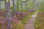 Rhodora, Saco Heath Preserve, The Nature Conservancy, Saco, Maine, USA