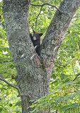 Bear Cub in tree, Shenandoah National Park, Virginia