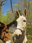Mule at Field Crib, Homeplace, Land Between The Lakes National Recreation Area, Dover, Tennessee, USA