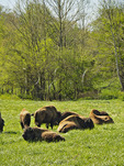 South Bison Range, Land Between The Lakes National Recreation Area, Dover, Tennessee, USA