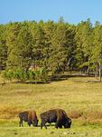 Buffalo, Wildlife Loop Road, Custer State Park, Black Hills, South Dakota, USA
