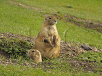Prarie Dog, Wildlife Loop Road, Custer State Park, Black Hills, South Dakota, USA