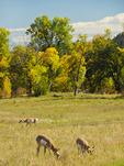 Antelope, Wildlife Loop Road, Custer State Park, Black Hills, South Dakota, USA