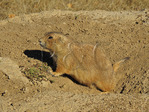 Prarie Dog, Devils Tower National Monument, Devils Tower, Wyoming, USA