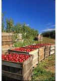 Apples In Crates, Winchester, Virginia
