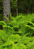 Ferns Beside Carriage Road near Jordan Pond, Acadia National Park, Maine, USA