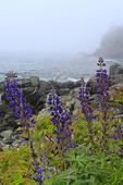 Lupine Bloom, Dorr Point, Compass Harbor Trail, Acadia National Park, Maine, USA