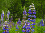Lupine Bloom, Acadia National Park, Maine, USA