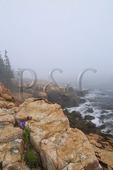 Wild Iris, Ship Harbor Trail, Acadia National Park, Maine, USA