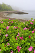 Wild Roses, Otter Cove, Acadia National Park, Maine, USA