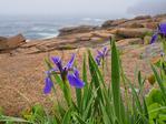 Wild Iris Near Thunder Hole, The Ocean Trail, Acadia National Park, Maine, USA