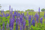Field of Lupine, Manset, Mount Desert, Maine, USA