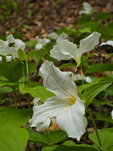 Trillium, Wolf Creek Area, Letchworth State Park, New York, USA