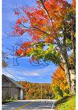 Maple Tree beside road, Whitingham, Vermont