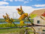 Grape Vine, Chateau La Fayette Reneau Winery, Hector, New York, USA