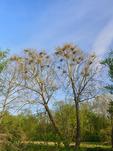 Great Blue Heron Rookery, Bath Road, Cuyahoga Valley National Park, Brecksville, Ohio, USA