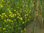Iris, Stumpy Basin, Ohio and Erie Canal Towpath, Cuyahoga Valley National Park, Brecksville, Ohio, USA
