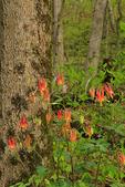 Columbine, Brandywine Gorge Trail, Cuyahoga Valley National Park, Brecksville, Ohio, USA