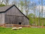 Sheep, Hale Farm and Village, Cuyahoga Valley National Park, Brecksville, Ohio, USA