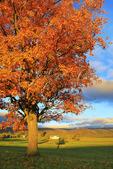 Orange tree on farm in Swoope, Shenandoah Valley, Virginia, USA