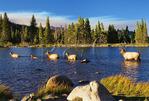 Elk, Sprague Lake, Sprague Lake Trail, Rocky Mountain National Park, Estes, Colorado, USA