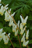 Dutchmans breeches, Pierce Stocking Scenic Drive, Sleeping Bear Dunes National Lakeshore, Empire, Michigan, USA