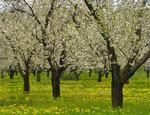 Cherry Trees, Leland, Leelanau Penninsula, Michigan, USA