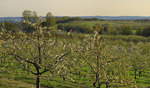 Cherry Orchard, Old Mission Peninsula, Traverse City, Michigan, USA