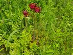 Pitcher Plant, Wild Gardens of Acadia, Acadia National Park, Maine, USA