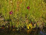 Pitcher Plant, Ames Pond, Stonington, Maine, USA