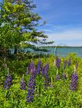 Lupine, Sunshine, Maine, USA