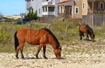Wild Ponies, Corolla, North Carolina, USA