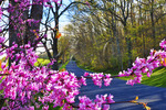 Redbud near Middlebrook in the Shenandoah Valley, Virginia, USA