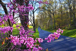 Redbud near Middlebrook in the Shenandoah Valley, Virginia, USA