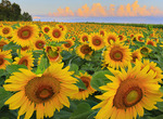 Sunflower Field, Mount Sidney, Shenandoah Valley, Virginia, USA