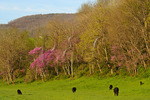 Cattle Graze Among Red Buds, Swoope, Shenandoah Valley, Virginia, USA