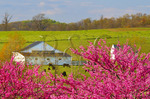 Redbud on farm near Middlebrook in the Shenandoah Valley, Virginia, USA