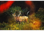 Bugling Elk, Winslow Hill, Benzettte, Elk County, Pennsylvania