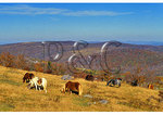 Wild horses along Appalachian Trail, Mount Rogers National Recreation Area, Virginia