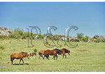 Wild horses, Grayson Highlands State Park, Virginia