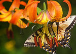Swallowtail Butterfly on Turk Cap Lilly, Shenandoah National Park, Virginia