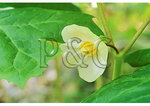May Apple Bloom, Shenandoah National Park, Virginia