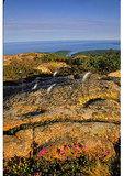 Rhodora in the rocks, Cadillac Mountain, Acadia National Park, Maine