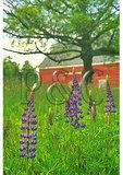 Lupine bloom, Stinson, Maine