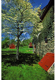 Dogwood at Lafayette Headquarters, Brandywine Battlefield Park, Chadds Ford, Pennsylvania