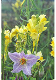 Horse Nettle and Butter and Eggs, Shenandoah National Park, Virginia