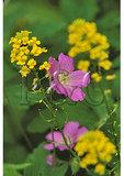 Wild Geranium, Shenandoah National Park, Virginia