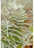 Frost on Fern, Shenandoah National Park, Virginia