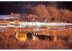 White Tail Deer, Shenandoah National Park, Virginia