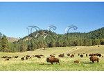 Buffalo, Custer State Park, Rapid City, South Dakota